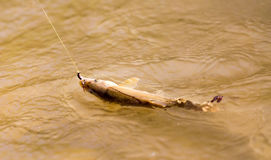 Fish caught on the hook Royalty Free Stock Image