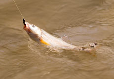Fish caught on the hook Stock Photography