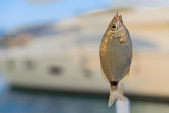Fish caught on a hook. The saddled seabream (Oblada melanura) Stock Photography