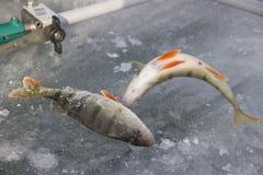 Fish caught Royalty Free Stock Photos