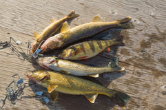 5 fish caught and laid on the dock Royalty Free Stock Photo