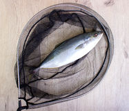 Fish caught in the net stock image