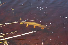 Fish Caught In Red Water. Pike fish caught in a red polluted water Royalty Free Stock Photography