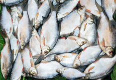 Fish caught in the river, lying on the grass.. Stock Image