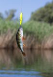 Fish caught on spinning stock images