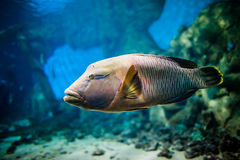 Fish - Cheilinus undulatus Royalty Free Stock Images