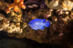 Fish. Chrysiptera hemicyanea. Colourful fish in an aquarium Royalty Free Stock Images