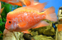 fish Cichlasoma Stock Photo