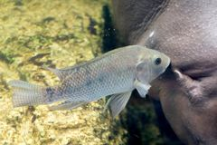 The fish cleaning hippopotamus in the water. At zoo royalty free stock images