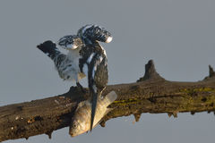Fish cleaning. Pied kingfisher with fish in Pilanesberg Nature Reserve Stock Photos