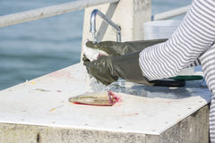 Fish Cleaning And Preparation. Fresh caught fish being cleaned under running tap water at a fishing pier Stock Photo