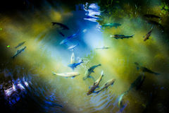 Fish. In the clear pool Royalty Free Stock Photo