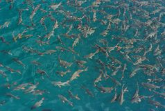 Fish in clear water. Stock Images