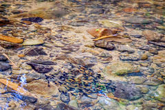 Fish in clear water. Small mountain stream with large stones on the bottom, Khao Sok National Park, Surat Thani Province, Thailand Royalty Free Stock Photography