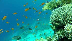 Fish and clear water. Underwater coral reef red sea. The corals and fish. Transparent and warm water. Underwater life tropical fish. Beautiful exotic fish stock footage