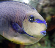 Fish close-up. Tropical fish close-up in a large saltwater aquarium Stock Photography