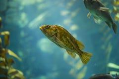 Fish. Close up in an aquarium Royalty Free Stock Image