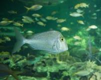 Fish. Close up in an aquarium Royalty Free Stock Photos