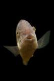 Fish closeup Royalty Free Stock Image