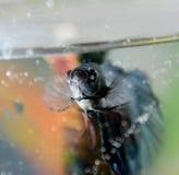 Fish closeup dark blue in the aquarium Stock Photography