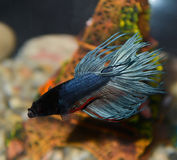 Fish closeup dark blue in the aquarium Royalty Free Stock Photo