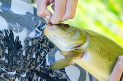 Fish. Closeup lakes fish in the hand of fishermen Royalty Free Stock Images