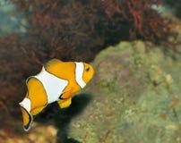 Fish - the clown Royalty Free Stock Photo