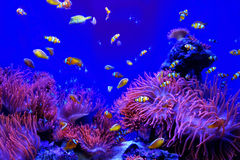 Fish Clown Fishes Anemone Aquarium Tank Royalty Free Stock Images