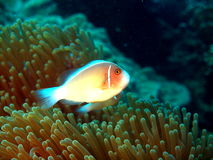 The fish-clown protects anemone Royalty Free Stock Photos