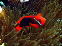The fish-clown protects anemone Royalty Free Stock Photography