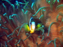 The fish-clown protects anemone Royalty Free Stock Images