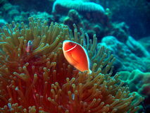 The fish-clown protects anemone Royalty Free Stock Image