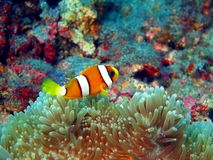 Fish-clown Stock Images