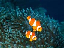 Fish-clown Royalty Free Stock Photo