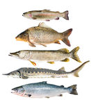 Fish collection. Isolated on the white background Royalty Free Stock Image