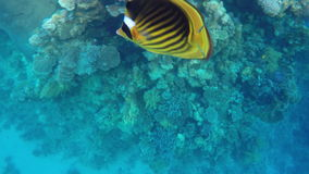 Fish and colorful corals on the reefs in the Red Sea.  stock footage