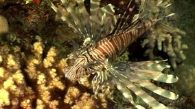Fish Common lionfish Pterois volitans in pure transparent water of Red sea. Sharp fins. Relax underwater video about devourer of marine inhabitants stock footage