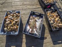 Fish and conch shells on fishing dock Royalty Free Stock Images