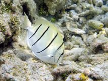 Fish: Convict Surgeonfish Stock Photos