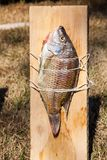 Fish Cooking On A Wooden Plank Royalty Free Stock Photos