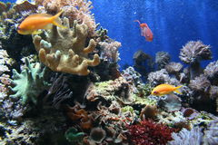 Fish in Coral. Fish swimming in different types of coral Royalty Free Stock Photography