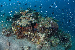 Fish and Coral Bommie in Indonesia Stock Photos