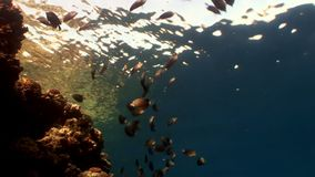 Fish in coral on clean blue background underwater Red sea. Colorful world of wild marine nature in beautiful lagoon. Awesome video of wildlife in Egypt stock video