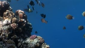 Fish in coral on clean blue background underwater Red sea. Colorful world of wild marine nature in beautiful lagoon. Awesome video of wildlife in Egypt stock footage