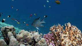 Fish in coral on clean blue background underwater Red sea. Colorful world of wild marine nature in beautiful lagoon. Awesome video of wildlife in Egypt stock video footage