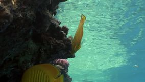 Fish in coral on clean blue background underwater Red sea. stock video