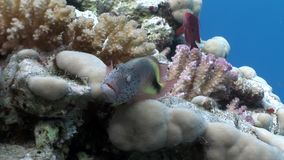 Fish in coral on clean blue background underwater Red sea. stock footage