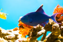 Fish and coral detail in aquarium Royalty Free Stock Images