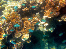 Fish and Coral, Great Barrier Reef, Australia Royalty Free Stock Images
