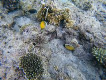Fish and coral: Red Sea Raccoon Butterflyfish Pantodon buchholz stock photos